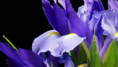 Purple Iris Flower Time-lapse - stock footage