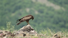 Bird Black kite eating carcass in the mountain rocks. Green hill background. Stock Footage