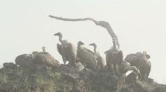 Birds Griffon and Egyptian Vultures eating carcass in foggy morning in mountain Stock Footage