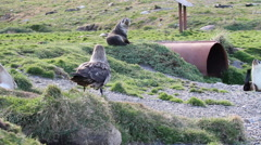 Southern Skua and Seals Stock Footage