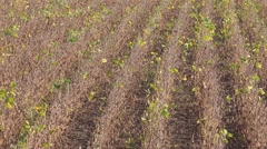 Rows of soybean crops in field Stock Footage