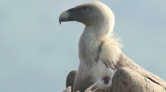 Bird Griffon Vulture landed on a branch of dead tree waiting for a carcass Stock Footage