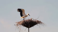 Stock Video Footage of Storks are sitting in a nest on a pillar