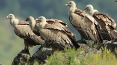 Raptor Birds Griffon and Egyptian Vultures eating carcass in the mountain rocks Stock Footage