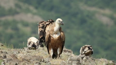 Stock Video Footage of Raptor Birds Griffon and Egyptian Vultures eating carcass in the mountain rocks