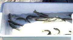 Rainbow trout fingerlings. Stock Footage