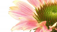 Echinacea Time-lapse - stock footage