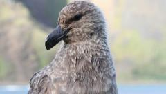 Southern Skua Stock Footage