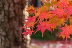 Colorful Autumn Leaf Season in Japan Stock Photos