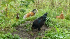 Poultry on the dacha. Stock Footage