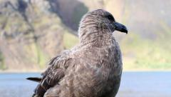 Southern Skua stands on the grass Stock Footage