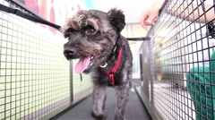 Dog walking on a treadmill doing physiotherapy - stock footage