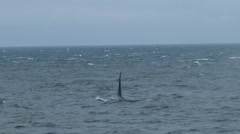 Orca, Killer Whale, Blackfish, Whale Stock Footage
