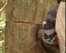 A pigmy man is cutting a tree Stock Footage