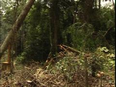 Tree falling in the jungle, this causes deforestation Stock Footage