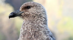Southern Skua close up Stock Footage
