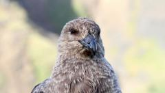 Southern Skua bird Stock Footage