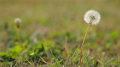 Dandelion seeds blown in the breeze Stock Footage