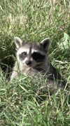 Raccoon wildlife in orchard grass vertical HD 011 - stock footage