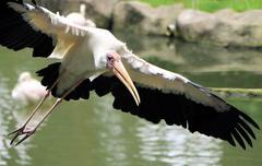 Yellow billed Stork bird flying near water - stock photo