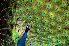Portrait of peacock with feathers stand out Stock Photos