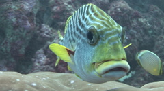 Sweetlips Cleaning Stock Footage