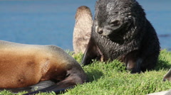Southern fur seal scratching - stock footage