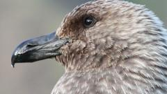 Southern Skua face Stock Footage