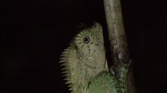 Ant walk over Forest Lizard head on branch at night Stock Footage