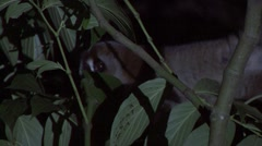 Greater Slow Loris hide behind leafs in the night Stock Footage