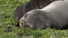 Southern fur seals sleeping - stock footage