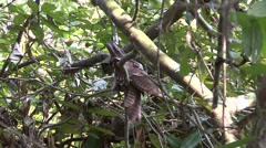 Large Frogmouth sit on nest Stock Footage