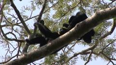 Siamang grooming in tree Stock Footage