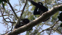 Siamang scratching arm Stock Footage