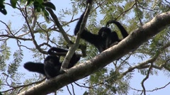 Siamang scratching head Stock Footage