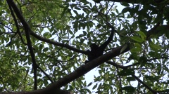 Siamangs move in tree Stock Footage
