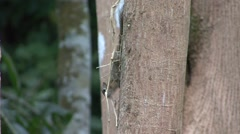 Slender Squirrel collecting and chewing twigs on tree trunk. Stock Footage