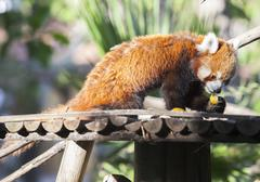 Portrait of a Red Panda eating fruits Stock Photos