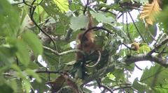 Sumatran Oranutan baby playing Stock Footage