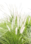 Imperata cylindrica Beauv on white - stock photo