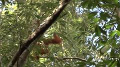 Sumatran Oranutan female climb tree Stock Footage