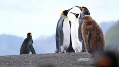 KIng penguin group Stock Footage