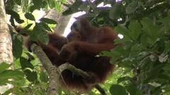 Sumatran Oranutan male sitting in tree an looking around Stock Footage