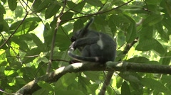 Thomas Leaf Monkey cleaning tail Stock Footage