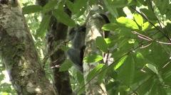 Thomas Leaf Monkey feeding Stock Footage
