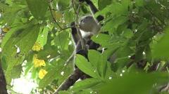 Thomas Leaf Monkey female feeding with baby on stomach  Stock Footage