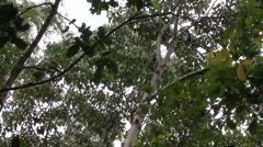 Thomas Leaf Monkey move in tree Stock Footage