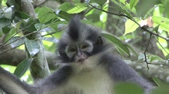 Thomas Leaf Monkey sit in tree looking around closeup Stock Footage