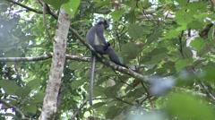 Thomas Leaf Monkey sit in tree looking around  Stock Footage