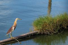 Javan Pond-Heron Stock Photos